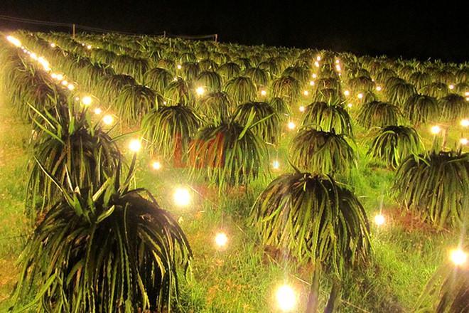 Đèn led chiếu sáng cho trồng Thanh Long